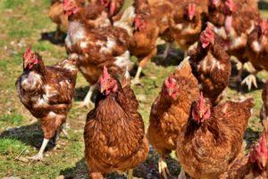élevage poulet air libre