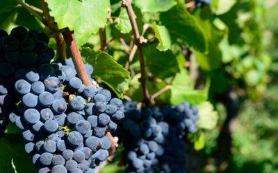 L'appellation AOC Rosé de Bordeaux