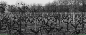Vigne pliage en hiver