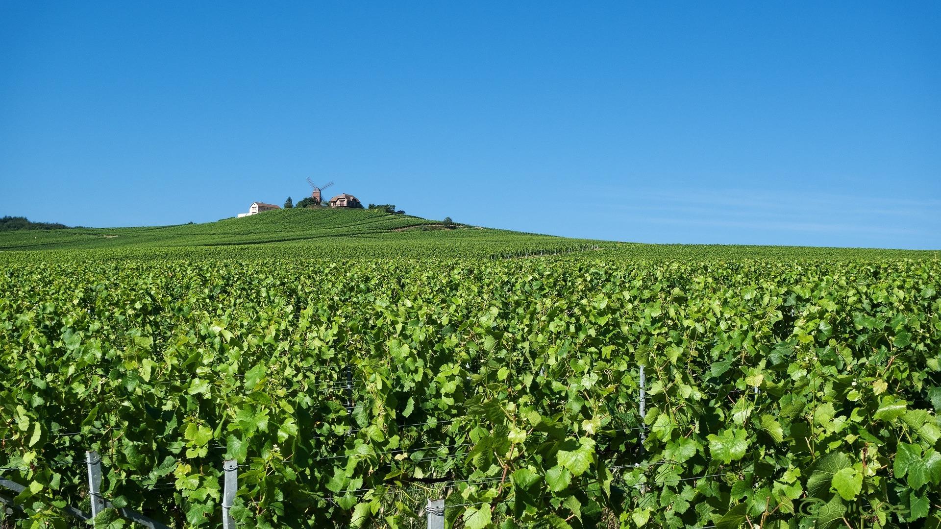 La fabrication du vin de Champagne