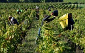 Vendanges 2019 Bordeaux