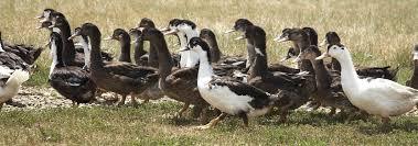 élevages de canards
