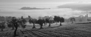 Champs d'oliviers, Brûme