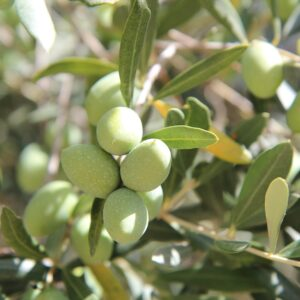 Rameau d'olivier