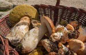 Panier de champignons Cèpes