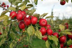 pommes à Cidre