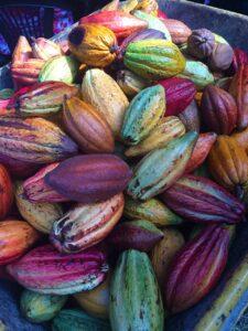 Les cabosses de Cacao