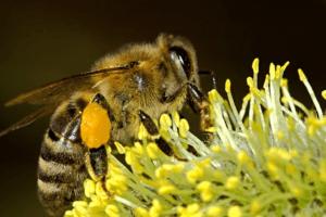 Abeilles, nectar