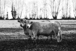 Troupeau de Vaches à viandes