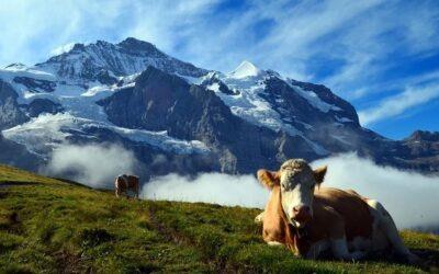 L'élevage de bovins, un enjeu environnemental et économique