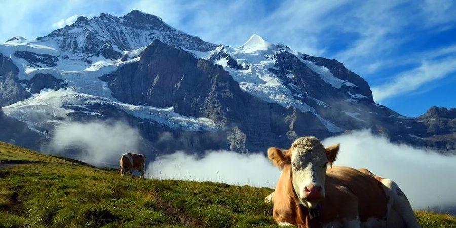 Pâturages Montagne, Boeufs,