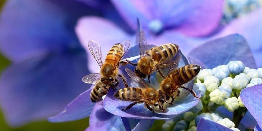 Nid d'abeilles,