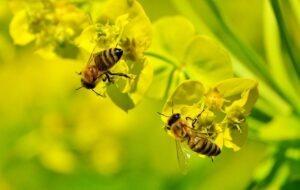 Le butinage des abeilles,