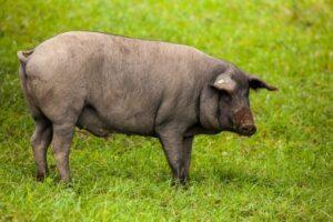 Porc noir en pature,