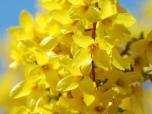 Fleur Forsythia,