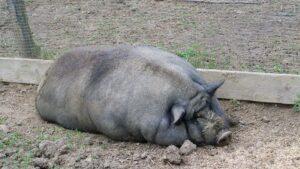 élevage porcs noirs,