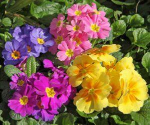 Fleur primevère,
