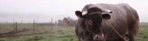 Bannière de bovins, races anciennes,