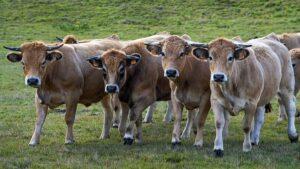Troupeau bovins races anciennes,