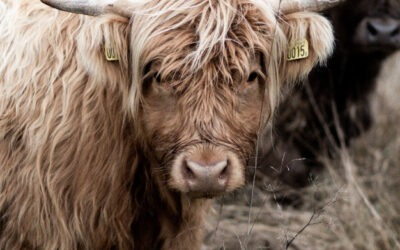 Les bovins, les races anciennes
