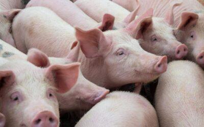 L'élevage de porcs en France
