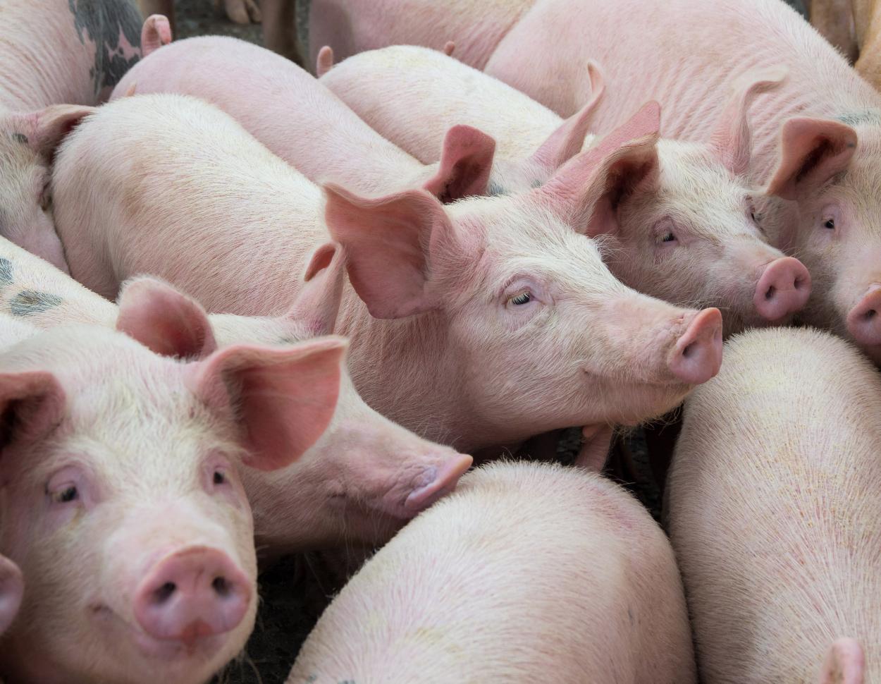 Elevage de porcs,