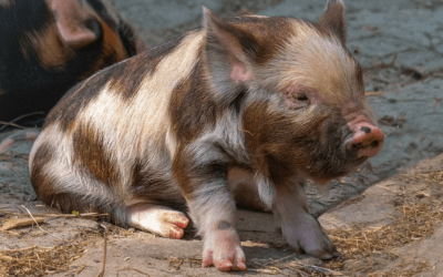 Les races rustiques et anciennes de porcs