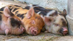 Race ancienne de porcs,
