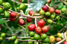 Arbuste à café