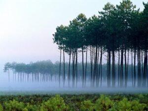 La Forêt des Landes,