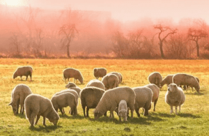 Les moutons en Occitanie,