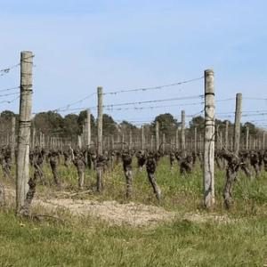 Les vignes en Occitanie,