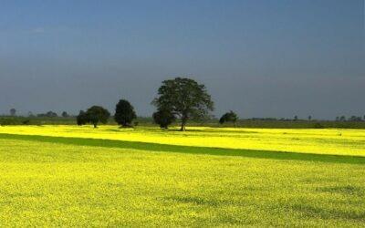 Le renouveau de la culture de la moutarde en France
