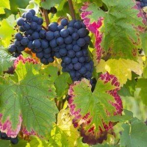 Cépage-cabernet-franc d'Anjou,