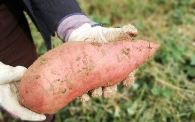 Patate douce culture : comment faire une bonne récolte?