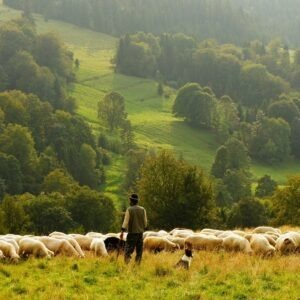 Troupeau de moutons,