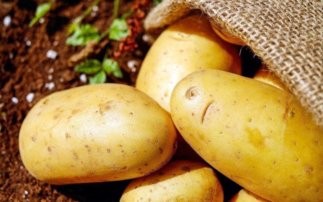 La culture de la patate dans la région des Hauts de France,